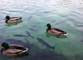 Plitvice-lake-fish-or-birds